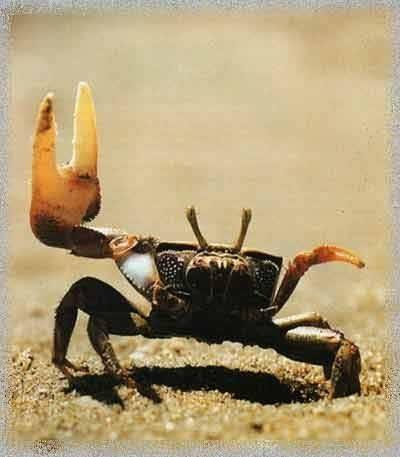 crabe_violoniste.jpg