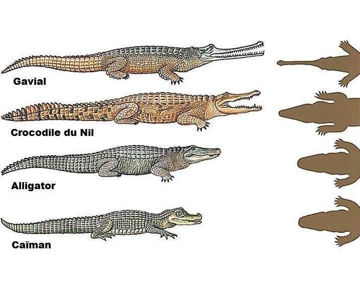 crocodile_alligator_caïman_gavial_différence.jpg