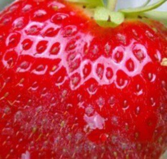 fraise0-m[1].jpg