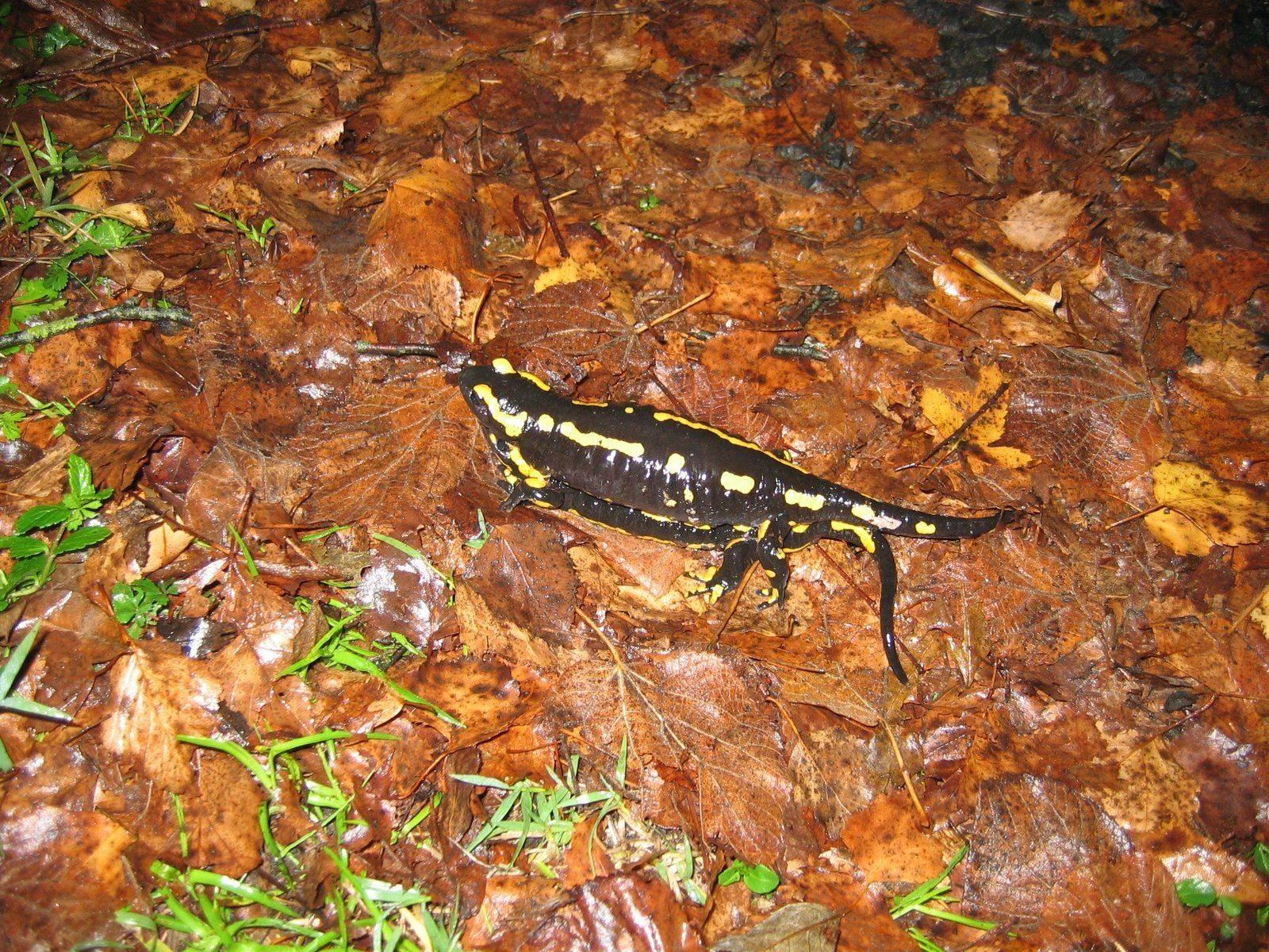 Salamandres 002.jpg