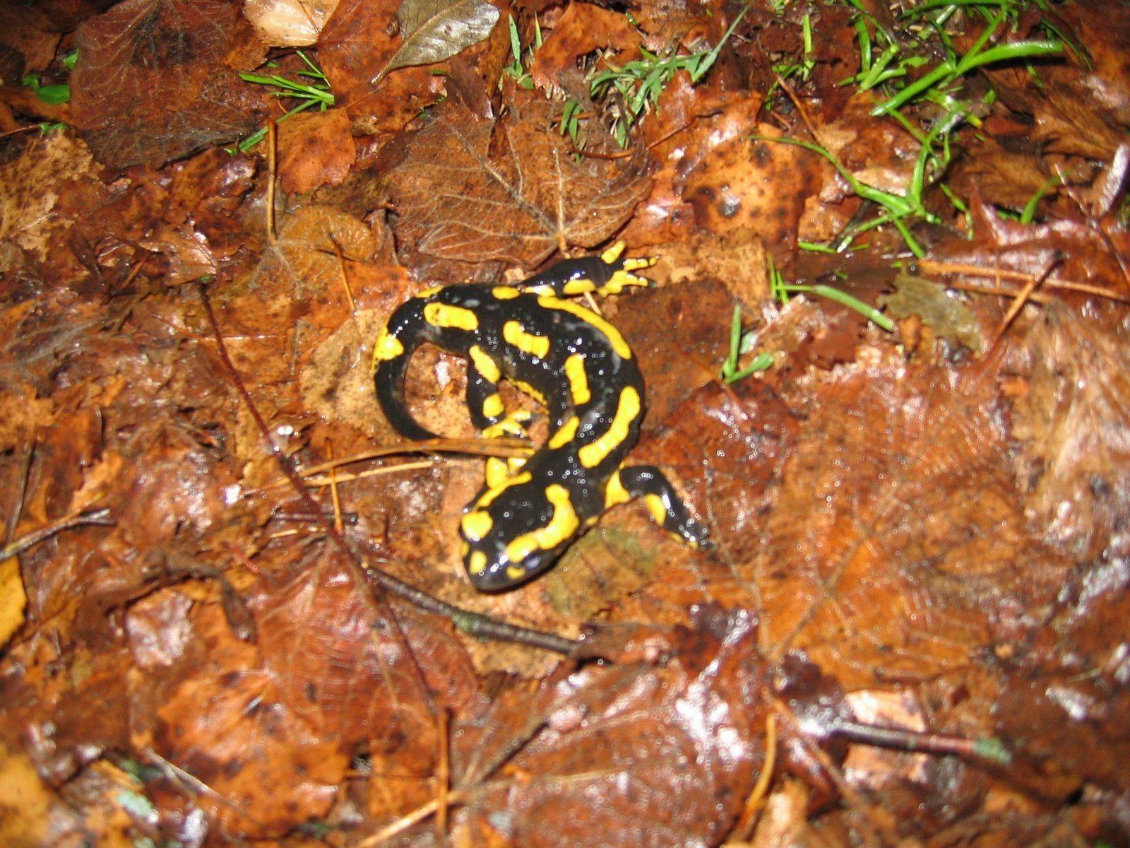 Salamandres 003.jpg